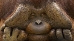Animals (timstuff) Tags: closeups curious endangered expressions faces fingers greatapes hands humorous males mammals orangutan portraits primates sad thoughtful egi