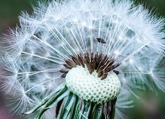 Löwenzahn Pusteblume Dandelion (marco.federmann) Tags: löwenzahn pusteblume dandelion natur