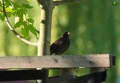 Amsel / Blackbird (Argentarius85) Tags: nikond5300 tamron70300mm456vcusd amsel blackbird turdusmerula vogel bird grün green bokeh licht light shadows schatten sonnenlicht sunlight sunbeams