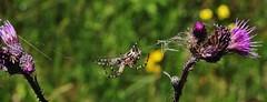 just hanging around (Hugo von Schreck) Tags: eichblattradspinne aculepeiraceropegia hugovonschreck spider spinne macro makro insect insekt canoneos5dsr onlythebestofnature tamronsp90mmf28divcusdmacro11f017 ngc