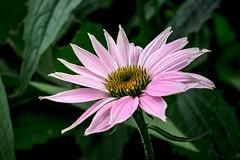 cone flower