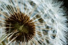 Tuft (Prestidigitizer) Tags: flowers macro onblack dandelion seed pod bokeh sigma70mmexdgmacro