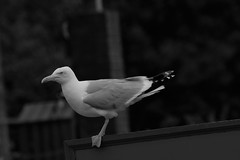 Standing on the edge (JerryGoulet) Tags: seagull bird nature outdoors expression nikon dover cliff sea edge wildlife wilderness blackwhite bw blackandwhite outside elegance light dark nationaltrust travel