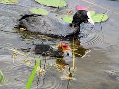 Foulque macroule 04 (jean-daniel david) Tags: oiseau poussin foulque foulquemacroule eau étang lac nature réservenaturelle reflet oiseaudeau bébé animal