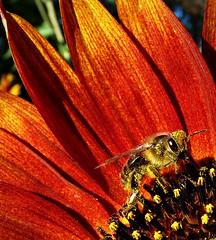 abeille gourmande sur un tournesol, au coeur de l'été provençale... Reynald ARTAUD (Reynald ARTAUD) Tags: 2010 été provence cruis abeille gourmande fleur tournesol reynald artaud