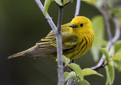 Yellow Warbler...6O3A1222A (dklaughman) Tags: yellowwarbler warbler mageemarsh ohio bird
