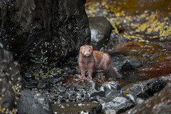 American mink (robertdownie) Tags: park sea water nature rock animal cute wood wildlife fur outdoors wet american alaska caves mammal united states america mink slippery usa noperson