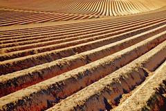 Sillons (JDAMI) Tags: sillons buttes plants plantation pommedeterre lignes droites courbes terre argile champ ocre marron santerre somme 80 picardie hautsdefrance france nikon d600 tamron 2470