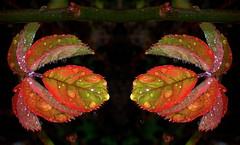 Twin Leaves.....DROPS.....Macro Mondays (Lani Elliott) Tags: macro drops droplets waterdroplets bokeh macromondays dripsdropsandsplashes leaves leaf roseleaves macrounlimited gorgeous brilliant