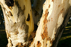 Eucalypt (Macr1) Tags: 61403327236 australia bark camera conditions d810 day default ebenezer eucalypt filters flora gumtree location markmcintosh miscellaneous nikon nikond810 nikongpsunitgp1a sa southaustralia sunny tree macr237gmailcom ©markmcintosh