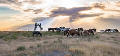 wild horses 6-21 (1 of 1) (Jami Bollschweiler Photography) Tags: wild horse photography utah wildlife west desert great basin onaqui herd horses