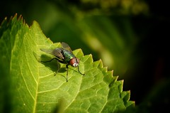 just landed... (frankvanroon) Tags: fly closeup nature landed