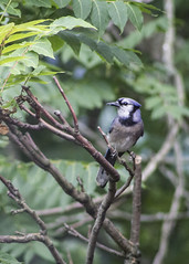 186/365 And Again (zodia81) Tags: 365project 365year2 dailyphoto bluejay bird wild morgantown westvirginia