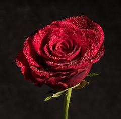 Still life rose (olssonz.to) Tags: stillife still life rose flower red