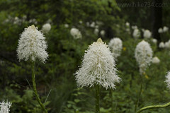 "Beargrass • <a style=""font-size:0.8em;"" href=""http://www.flickr.com/photos/63501323@N07/35381662605/"" target=""_blank"">View on Flickr</a>"