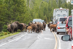 Bison jam on the west side of Yellowstone National Park