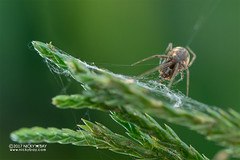 Sheet weaver spider (Linyphiidae) - DSC_5407 (nickybay) Tags: macro malaysia pahang frasershill bukitfraser spider sheet web linyphiidae weaver