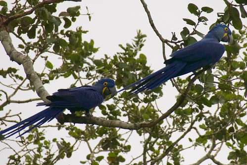 brazil-pantanal-caiman-lodge-hyacinth-macaws-tree-copyright-thomas-power-pura-aventura
