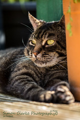 Merlin (Simon Clarke Photography©) Tags: merlin cat lazy summer days green decking stripes tabby simonclarkephotography simon clarke harlow essex canon 80d 100mm june 2017