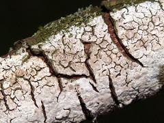 Elder whitewash (Hyphodontia sambuci) on elder (Sambucus nigra) deadwood (shadowshador) Tags: elder whitewash hyphodontia sambuci sambucus nigra deadwood neomura eukaryota opisthokonta fungi fungus dikarya basidiomycota agaricomycotina agaricomycetes hymenochaetales schizoporaceae taxonomy scientific classification biology mycology wildlife life british white anamorphic