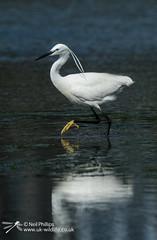 Little egret in West Looe River-7 (Neil Phillips) Tags: ardeidae aves egrettagarzetta littleegret neoaves pelecaniformes bird footed heron longlegs longneck yellow