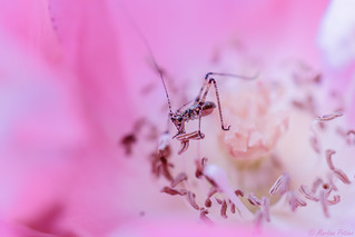 baby-grasshopper is eating my rose...🌹🍴😏