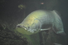 NZ grp36.17DSC_0078 (lwolfartist) Tags: arapaima fish ancient huge amazon river freshwater nature animal aquarium