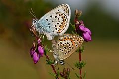 Silver-studded Blue (Plebejus argus) (Jud's Photography) Tags: silverstuddedblue plebejusargus butterfly silverstuddedbluebutterfly shropshire uk
