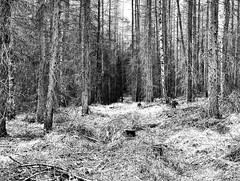 Wald (Christian Knobeloch) Tags: wald bäume äste natur querformat monochrom details kontrast tiefe perspektive gransee oberhavel brandenburg deutschland