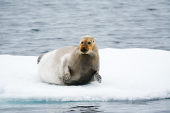 Bearded Seal (jkardysphotos) Tags: svalbard beardedseal seal drifticeseal