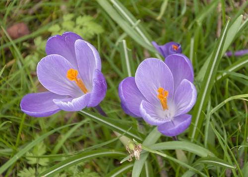 Purple flowering crocus  - Hever Castle