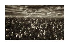 O24C1697 (keithcravenphotography) Tags: cotton grass