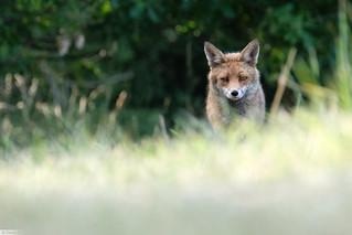 Renard roux (Vulpes vulpes) Red fox X-T2 XF 100-400
