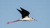 Himantopus himantopus in flight (. Christian Ferrer .) Tags: sète hérault occitanie bird oiseau himantopus stilt échasse lido thau nikon