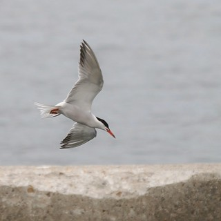 Common Tern Off The Portland Fish Pier