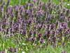 Fiori di Milzadella (Silvana *_*) Tags: lamium maculatum dolcimiele falsaortica prato primavera spring