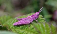 Nutty Nature (ashperkins) Tags: meadowgrasshopper chorthippusparallelus grasshopper pink mutation ashperkins deganwy northwales bbcwalesnature madnature wackyweekends
