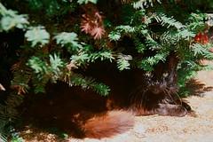 Cemetery cats - analog Paris (ephemeral_x) Tags: cat cemetery cimetière feral alley tomb grave jouer à chat paris photography analog film france portrait feline montmartre black lives yashica color red ektar kodak minolta eyes outdoors illusion tree littledoglaughedstories