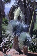 Yucca rostrata Engelm. ex Trel. - Jardin Botanico de Barcelona (Ruud de Block) Tags: bgbarcelona jardinbotanicodebarcelona ruuddeblock asparagaceae taxonomy:binominal=yuccarostrata yuccarostrata