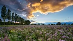 Orange meets purple (Sebo23) Tags: landscape landschaft landschaftsaufnahme nature naturaufnahme abendstimmung abendlicht sunset sonnenuntergang purple orange flower blumen canon6d canon16354l radolfzell