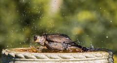 That's better (Stu thatcher) Tags: bird uk water bath fast shutter speed birds wet splash britain england english worcester worcestershire