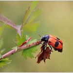 Ameisensackkäfer (Clytra laeviuscula) thumbnail