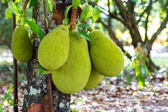 20170519-IMG_1785 (pixelGeko) Tags: fruit jackfruit redlandorchidfestival