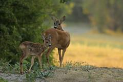 Ree - Capreolus capreolus - Roe Deer (merijnloeve) Tags: ree capreolus roe deer meijendel zuidholland morning wildlife wild hert hertjes bambi