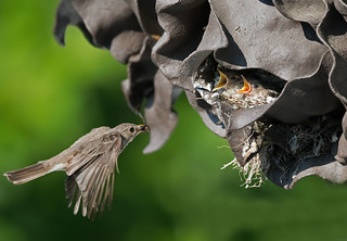 Spotted Flycatcher: Muscicapa striata (Explored)