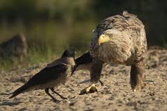 Sea Eagle and Hooded Crow (wietsej) Tags: sea eagle hooded crow ultimafrontiera wildpix danube delta donau bird sony rx10m3 rx10iii rx10 iii 111 ultima frontiera roemenie wietse jongsma