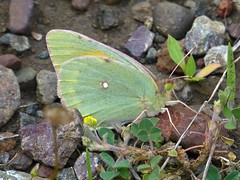 Colias aurorina (Greek Clouded Yellow, underside) (TPittaway) Tags: coliasaurorina greekcloudedyellow greece june2017 pieridae lepidoptera butterflies tonypittaway delphi thessaly