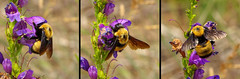 Nevada Bumblebee (Bombus nevadensis), a worker.  Sandia Mountains, New Mexico, USA. 24 June 2017 (cbrozek21) Tags: nevadabumblebee bombusnevadensis sandiamountains newmexico insect bumblebee animal nature pollination penstemon flower meadow pentaxart