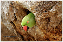 6992 - parakeet (chandrasekaran a 40 lakhs views Thanks to all) Tags: parakeet birds nature india chennai canon60d tamronsp150600mmg2