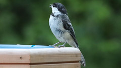 Wetting his Whistler (blazer8696) Tags: 2017 brookfield ct connecticut ecw obtusehill t2017 table usa unitedstates atricapillus bcch black blackcapped blackcappedchickadee capped chickadee img2194 paridae passeriformes poeatr poecile poecileatricapillus